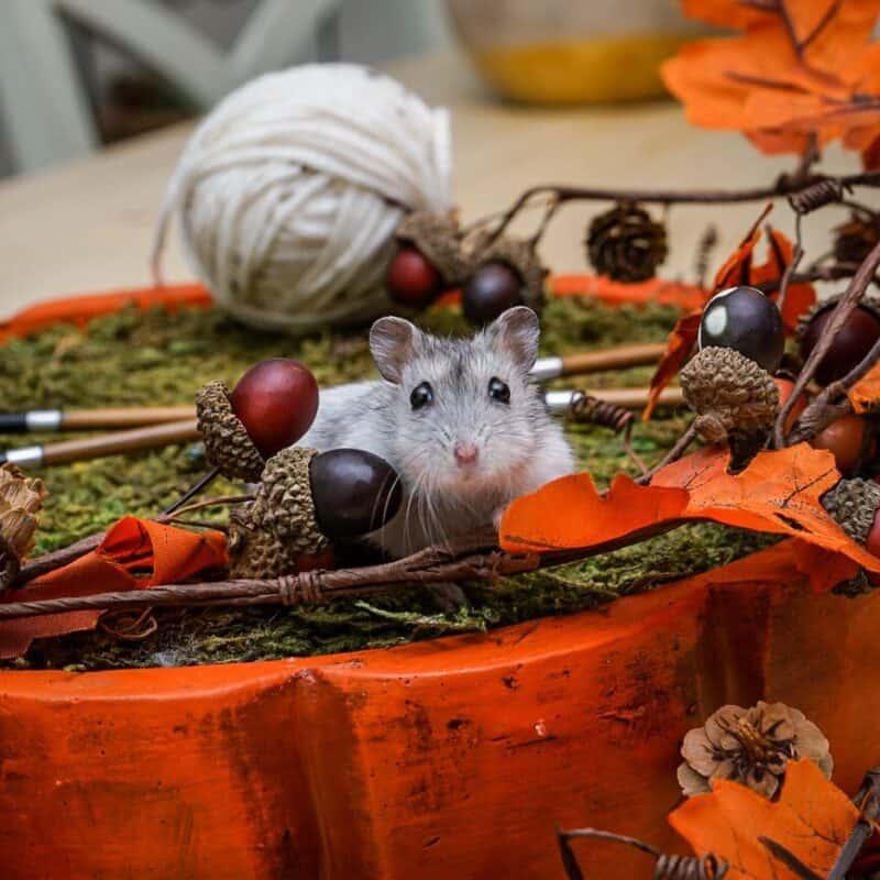 Marlow Hamster